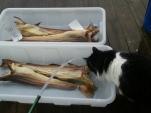 Dag 3: Fisken er i ferd med å svelle opp. Katten var særdeles interessert i den som frambrakte den deilige lukten