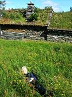 Malvin kastet seg i gresset og rullet rundt - klar for stølslivet / Malvin rolling around in the field