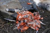 Fiskeavfall, kulturlag på gang... / Fish waste, cultural layers in progress...