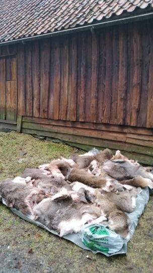En haug med hjorteskinn / A heap of deerskins