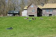 Bakkene på Hordamuseet innbyr til å rulle i gresset / Rolling in the meadows