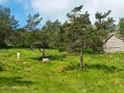 Sanking av sauer på stølen / Herding sheeps