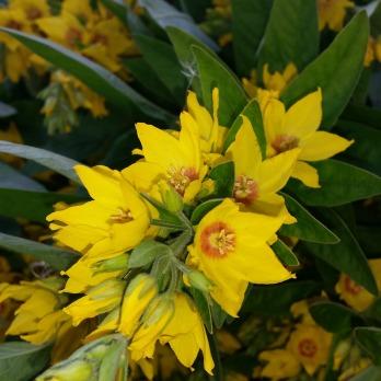 Fagerfredløs til plantefarging / Loosestrife for plant dyeing
