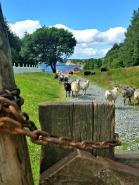 I løpet av dagene kom også villsauene på plass på beite ved sjøen / The sheep grazing by the boat houses