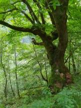 Nydelig løvskog i åssiden / Lovely forest along the hillside